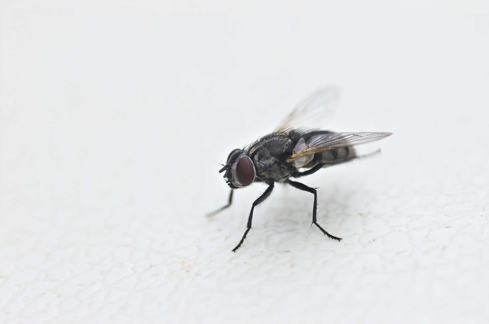 housefly-hand-grenade-original